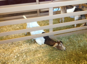 Goat proves grass is greener on the other side