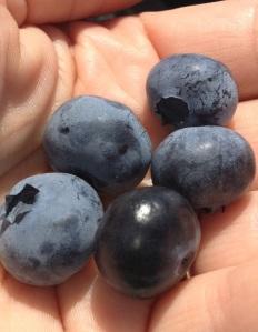 Thunderbird berry farm blue berries